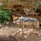 Mexican Gray Wolf by redhawk