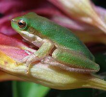 frog on freesia by Belinda Cottee