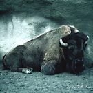 European Bison. 116 views, i comment by dragonsnare
