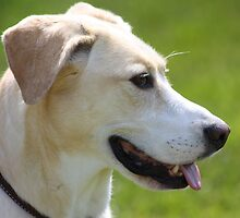 Callie ~ our rescued lab mix by Rachel Stickney