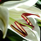 White Lilly by Max Klodinsky