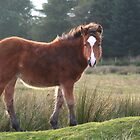 Yearling in Wales by RosaMarieAshby