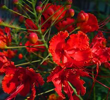 Red Bushflowers by Guy Tschiderer