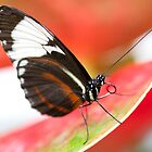 Cydno Longwing by Lindie Allen