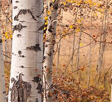 Aspen Grove in Autumn by lkamansky