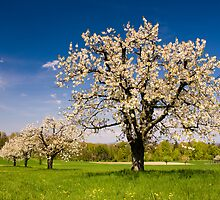 Blossoming trees in spring in rural scenery  by peterwey