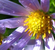Michaelmas Daisy by jacqi