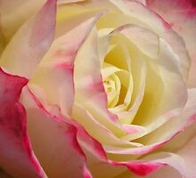 Heart Of  a Rose, pink, yellow, and white by Lenny La Rue, IPA
