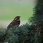 Chipping Sparrow by Lynda  McDonald