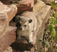 Dassie or Rock Hyrax by Jo  McCarthy