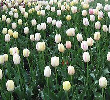 Field of White and Pink Tulips 2 by DPrior