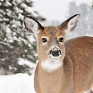 White tailed Deer by Poete100