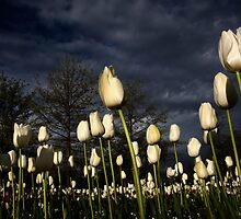 Tulips by Adam Spence
