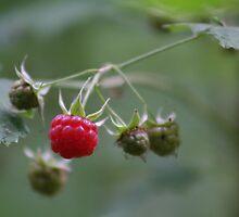 Wild Rasberry by MarkShaw
