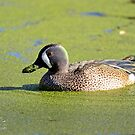 I Love My Duck Weed by imagetj