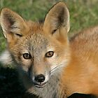 Red Fox Kit by Rhonda R Clements