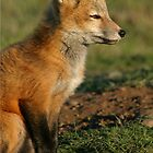 Fox kit watching sunset by Rhonda R Clements