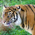 Sumatra Tiger by Rhonda R Clements