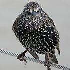 blackbird on the wire2 by cromerpaul