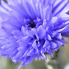 Cornflower by CJPhotos