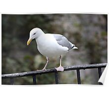 California Gull Poster
