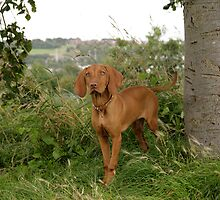Hungarian Vizsla by Classicperfection