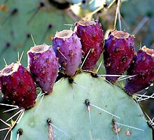 Prickly Pear by Stephanie  Newbold