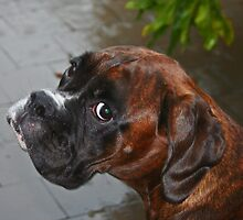Luthien -Boxer Dogs Series- by Evita
