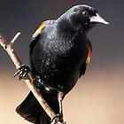 Red-winged Blackbird by Robert Elliott