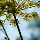 Queen Ann's Lace by Bromoson Photography