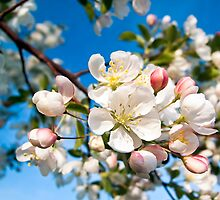 Crab Apple Blossom Cluster at Limb's End by Kenneth Keifer
