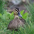 Duck portrait by Kellie Metcalf