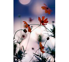 Cosmos flowers and city bokeh, Omotesando, Tokyo Photographic Print