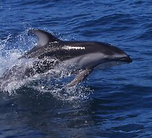 Pacific White Sided Dolphin by Chris Snyder