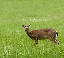 Deer in meadow, Cades Cove by John Wright