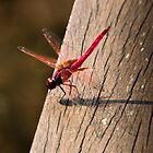 Crimson Dropwing Trithemis aurora (male) by Joy Danen