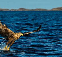The White Tailed Eagle by CrimsonSkyPhoto