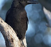 Pied Currawong  by Robert Elliott