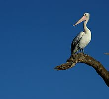 Peaceful Pelican by Michael Humphrys