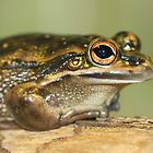 Green and Gold Tree Frog by Steve Bullock