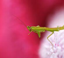 Baby Praying Mantis by Janine  Hewlett
