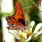 Skipper Butterfly by sherryk