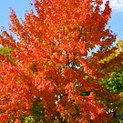 Maple Tree by Braedene