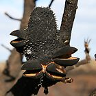 Banksia after Fire by mike irvine