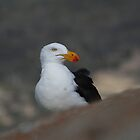 Pacific Gull by mike irvine