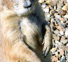 #589   Prairie Dog    by MyInnereyeMike