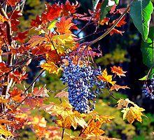 Autumn Elderberries by Chuck Gardner