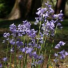 Bluebell Wildflowers photographic Print by CDCcreative