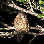 Ruru......Morepork.......Owl ! by Roy  Massicks
