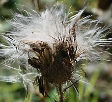 Thistle Fluff by SmilinEyes